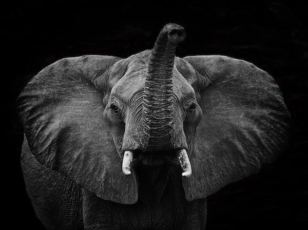 ELEPHANT WITH RAISED TRUNK UPWARDS