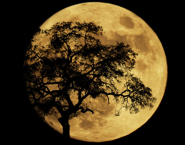 MOON BEHIND SINGLE TREE