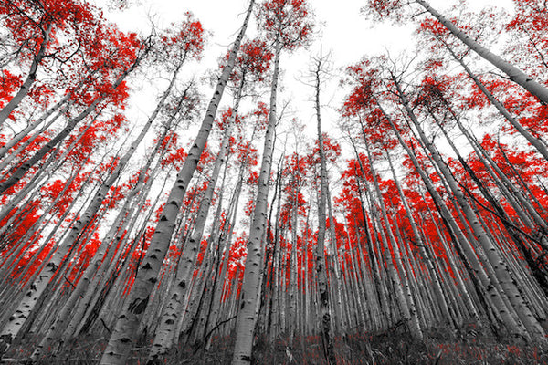 Red Quaking Aspens, Colorado
