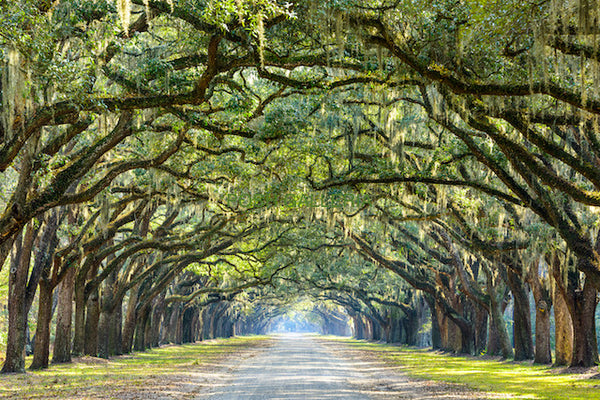 WIDE GREEN TREES OVER ROAD IN SAVANNAH, GEORGIA