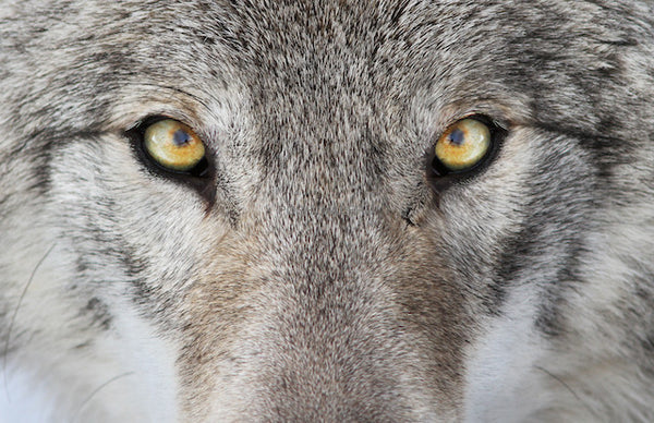 WOLF WITH HONEY COLOR EYES