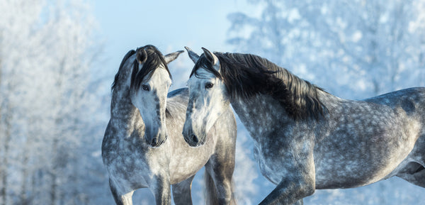 TWO GRAY SPOTTED HORSES
