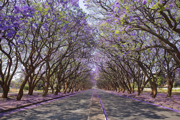 PURPLE JACARANDA TREES ON ROAD