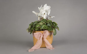 Mother's Day Flowers - Cyclamen love