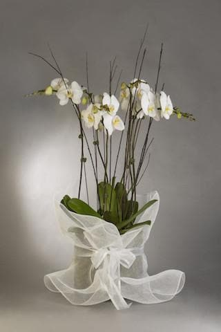 Real Florist. Real Flowers. Melbourne Online Delivery. Same Day | Living Stunning Phalaenopsis Orchids