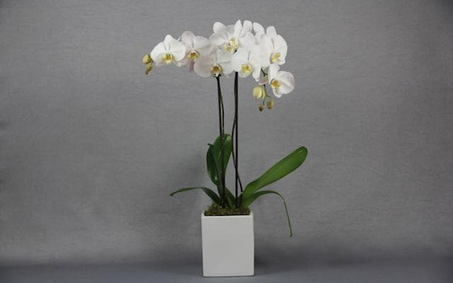 Real Florist. Real Flowers. Melbourne Online Delivery. Same Day | Double Stem Phalaenopsis Orchid