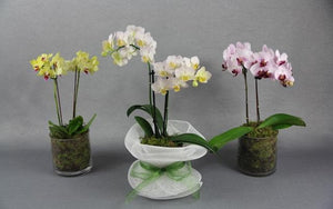 Real Florist. Real Flowers. Melbourne Online Delivery. Same Day | Mini Phalaenopsis Orchid