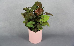 Real Florist. Real Flowers. Melbourne Online Delivery. Same Day | Syngonium in Pink