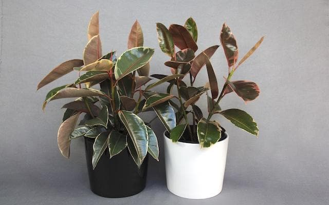 Real Florist. Real Flowers. Melbourne Online Delivery. Same Day | Rubber Plant in Ceramic Pot