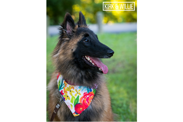 Whiskey the Belgium Shepard wearing a kirk & willie floral dog bandana at white rock lake in dallas texas