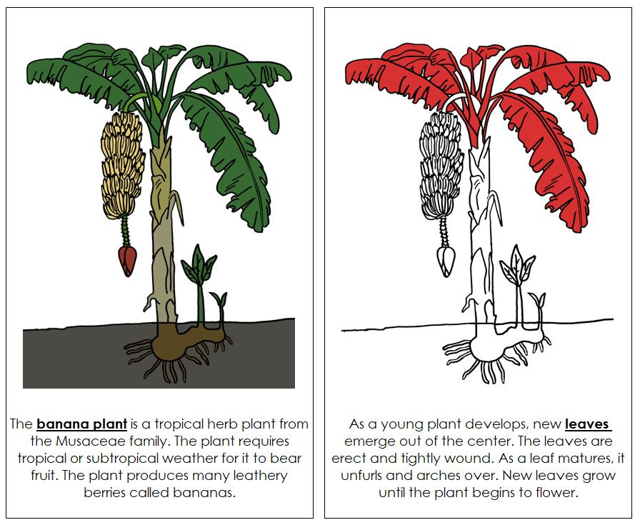 Banana Plant Nomenclature Book (Red) - Montessori Print Shop