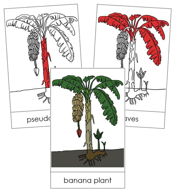 Banana Plant Nomenclature Cards (red) - Montessori Print Shop