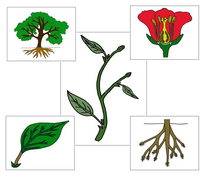 Botany Nomenclature Bundle Set 1 - Montessori Print Shop