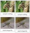 Dragonfly Life Cycle Nomenclature 3-Part Cards & Charts - Montessori Print Shop