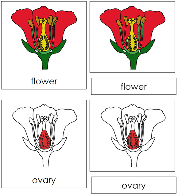 Flower Nomenclature Cards (red) - Montessori Print Shop