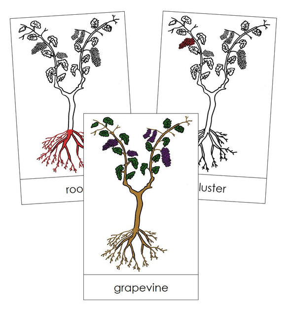 Grapevine Nomenclature Cards (red) - Montessori Print Shop