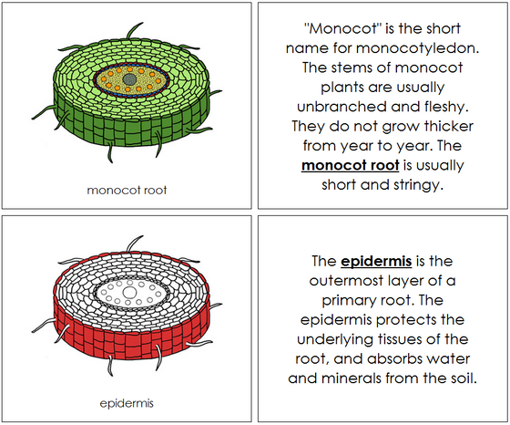 Monocot Nomenclature Book (red) - Montessori Print Shop