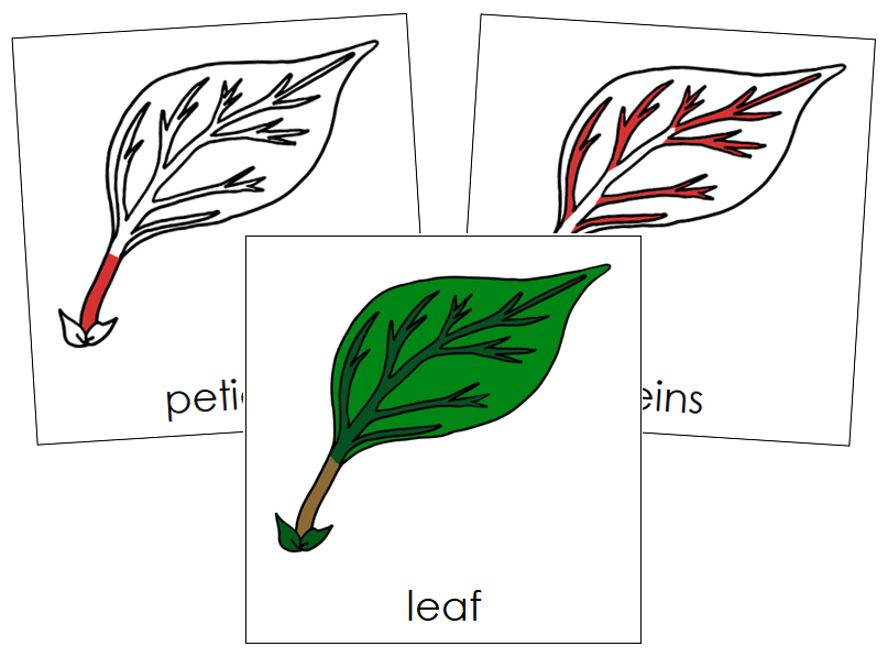Leaf Nomenclature Cards (red) - Montessori Print Shop
