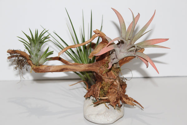 Live Airplants on a Piece of Spider Wood