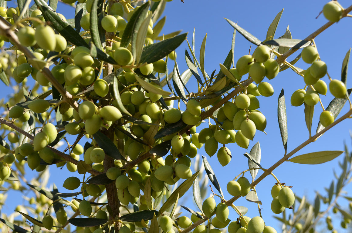 Cobrancosa (Portugal) Extra Virgin Olive Oil (Robust)