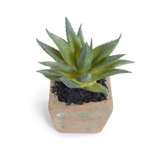 Individual Product - ALOE SUCCULENT PLANT
