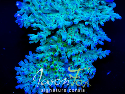 JASON FOX NORTHERN LIGHTS ACROPORA