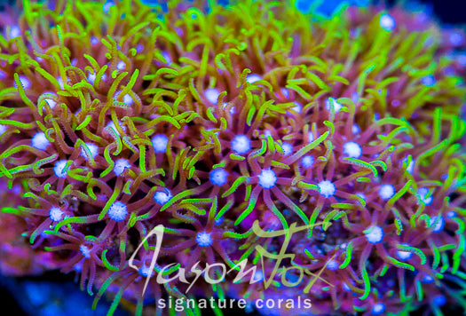 JASON FOX PINK INFUSED STAR POLYPS