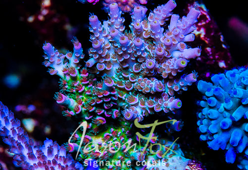 JASON FOX BLOWTORCH ACROPORA