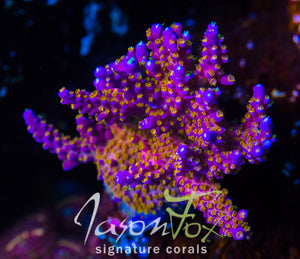 TYREE MERLINS STAFF ACROPORA
