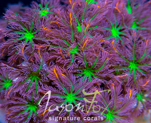 JASON FOX ORANGE INFUSED RAINBOW CLOVE POLYPS