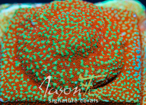 JASON FOX GRINCH MONTIPORA