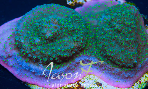 JASON FOX HEADBAND MONTIPORA