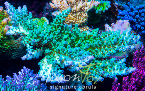 JASON FOX FRANKIES SKY HIGH STAG ACROPORA