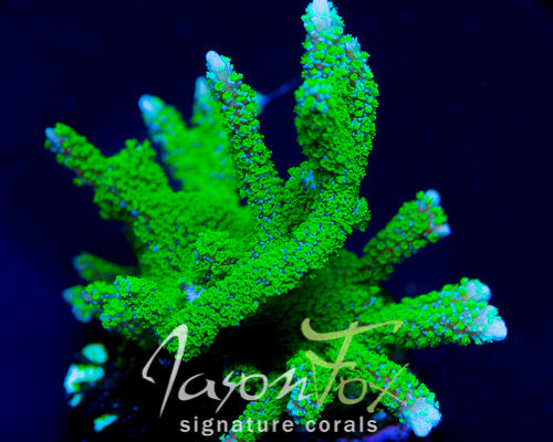 JASON FOX PURPLE TIDE MONTIPORA DIGITA