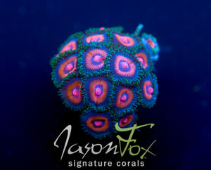JASON FOX PUNCH DRUNK ZOAS