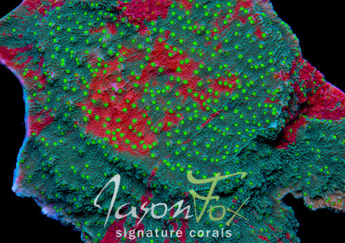 Jason Fox Grafted Sun Montipora Cap