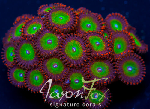 Jason Fox Candy Apple Red Zoas