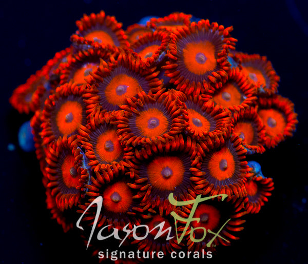 JASON FOX MANGO COOLER ZOAS