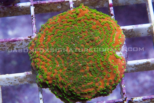 Tyree LE Sunset Montipora