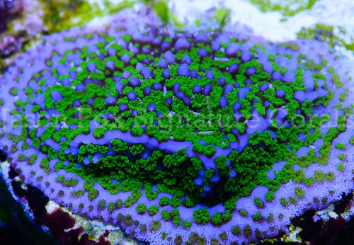 Jason Fox Blue Summit Montipora