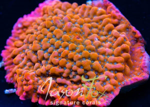 JF WITCH HUNTER MONTIPORA