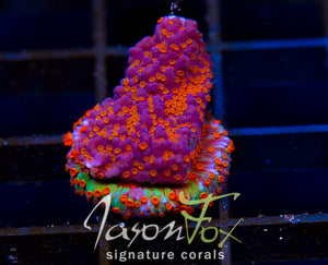 JASON FOX STRIP TEASE MONTIPORA