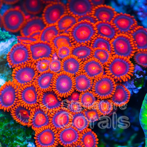Jason Fox Atomic Sunrise Zoa
