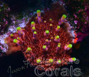JASON FOX FOX FLAME ACROPORA