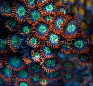 Jason Fox Tiger Zoas