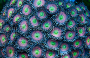 Jason Fox Cat's Eye  Zoas