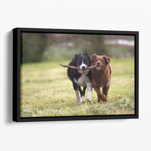 2 border collie dogs fetching a stick in open field Floating Framed Canvas - Canvas Art Rocks - 1