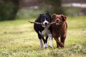 2 border collie dogs fetching a stick in open field Wall Mural Wallpaper - Canvas Art Rocks - 1