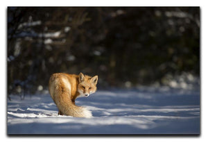 A Red Fox turns back to look at the camera Canvas Print or Poster - Canvas Art Rocks - 1