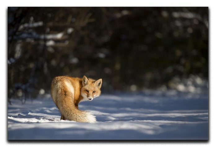 A Red Fox turns back to look at the camera Canvas Print or Poster